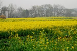 The Fields of Rapeseed Flowers in Anhui